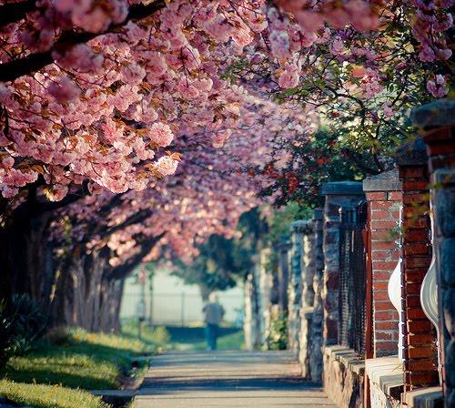 Spring Blossoms, Kaposvar, Hungary